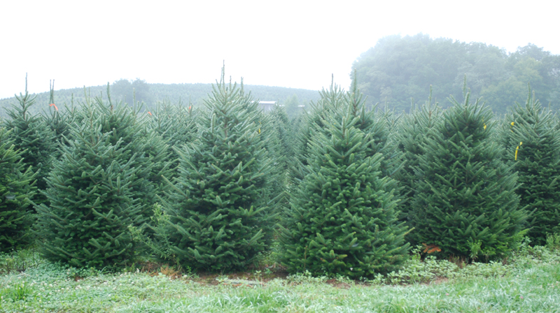 North Carolina Fraser Fir Trees