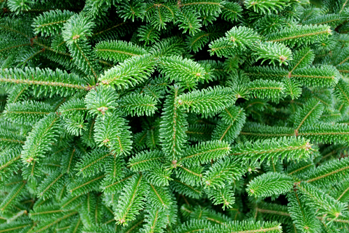 Fraser Fir foilage from Butler Farms