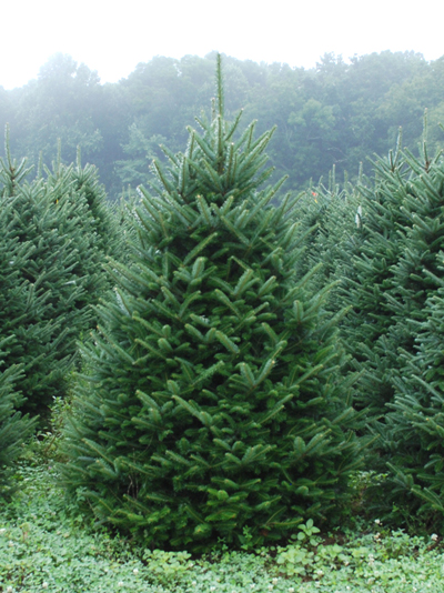 Premium #1 Graded Fraser Fir Christmas Tree