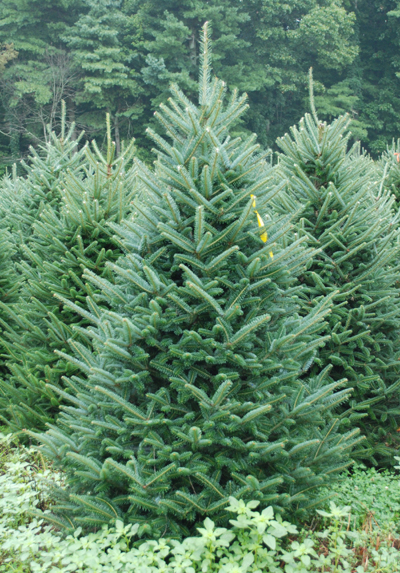 Growing Christmas Trees In North Carolina Party