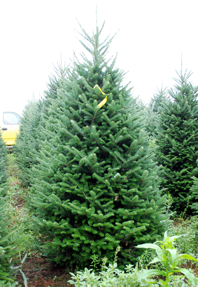 Butler Farms Christmas Tree